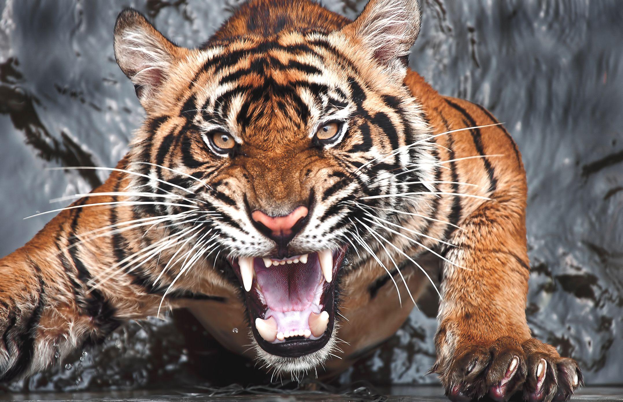 tigre kombat silat